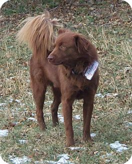 Australian Shepherd/Golden Retriever Mix Dog for adoption in Minneapolis, Minnesota - Copper