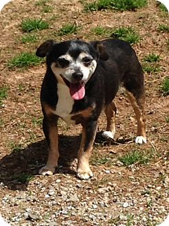 Chihuahua Dog for adoption in Shelby, North Carolina - Pee Wee