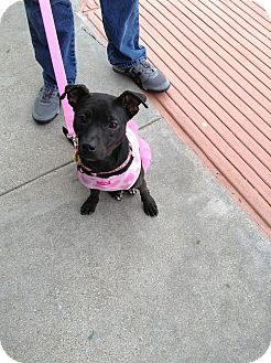 Boston Terrier Mix Dog for adoption in Irving, Texas - Minnie Pup Tart