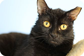 Domestic Shorthair Cat for adoption in Chicago, Illinois - Scotty Pie