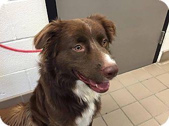 Australian Shepherd Mix Dog for adoption in Allen, Texas - Prince Charming