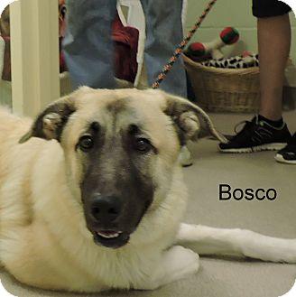 Anatolian Shepherd Mix Puppy for adoption in Slidell, Louisiana - Bosco