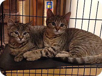 Domestic Shorthair Kitten for adoption in Rocklin, California - Khloe & Nellie (Khloe)