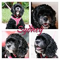 Adopt A Pet :: Sydney - Holmes Beach, FL