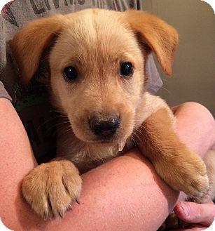 Labrador Retriever/Golden Retriever Mix Puppy for adoption in SOUTHINGTON, Connecticut - Jacob