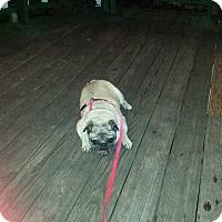 Adopt A Pet :: Betty - Huntingdon Valley, PA