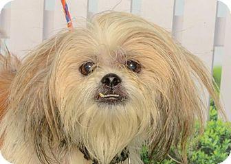 Lhasa Apso Mix Dog for adoption in Kalamazoo, Michigan - Molly Mayhem