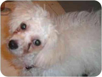 Poodle (Miniature)/Bichon Frise Mix Puppy for adoption in Brecksville, Ohio - Henri