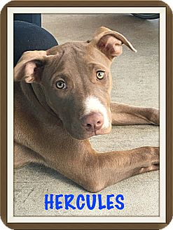 Labrador Retriever/American Pit Bull Terrier Mix Puppy for adoption in Tempe, Arizona - Hercules
