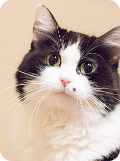 Domestic Mediumhair Cat for adoption in Chicago, Illinois - Cindy Crawford