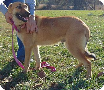 German Shepherd Dog Mix Puppy for adoption in Chicopee, Massachusetts - Ivan