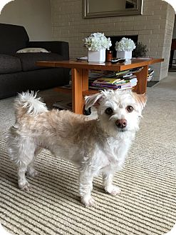 Terrier (Unknown Type, Small) Mix Dog for adoption in Saddle Brook, New Jersey - Henry the first