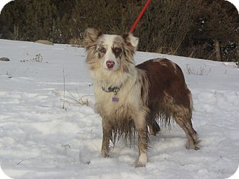 Australian Shepherd Dog for adoption in Ridgway, Colorado - Shay