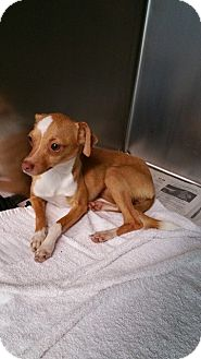 Chihuahua/Miniature Pinscher Mix Dog for adoption in Beaumont, Texas - JoJo