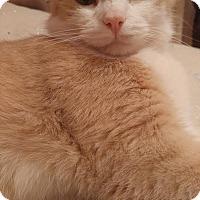 Domestic Shorthair Cat for adoption in Morgantown, West Virginia - Jasper