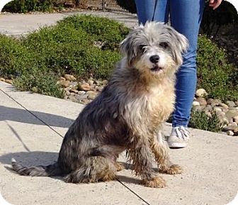 Australian Shepherd/Poodle (Miniature) Mix Dog for adoption in Lathrop, California - Dottie