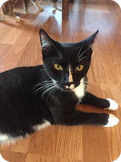 Domestic Shorthair Kitten for adoption in Sparta, New Jersey - Nylons