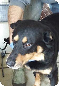 Rottweiler Mix Dog for adoption in Paducah, Kentucky - Storm
