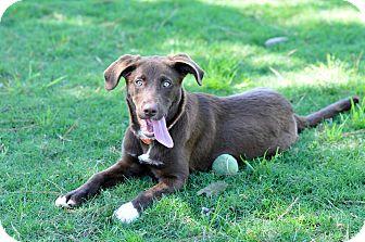 Labrador Retriever Mix Puppy for adoption in Bend, Oregon - Rayne
