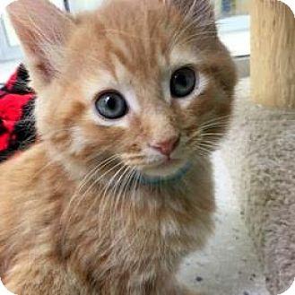 Domestic Shorthair Kitten for adoption in Janesville, Wisconsin - Maya Papaya
