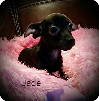 Chihuahua Mix Puppy for adoption in Pittsburgh, Pennsylvania - Jade