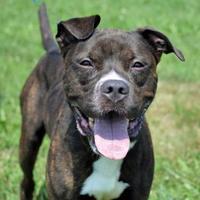 Adopt A Pet :: Chaos - Westampton, NJ