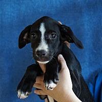 Adopt A Pet :: Shiva - Oviedo, FL