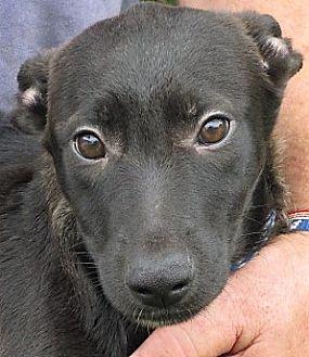 Border Collie/Feist Mix Puppy for adoption in Germantown, Maryland - Merak