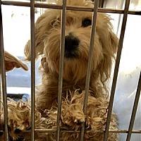 Adopt A Pet :: Ritz - Encino, CA