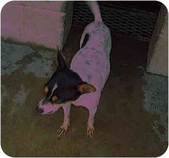 Rat Terrier Dog for adoption in Opelousas, Louisiana - Tootoo