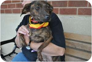 Terrier (Unknown Type, Small) Mix Dog for adoption in Chesterfield, Virginia - Cocoa Bean