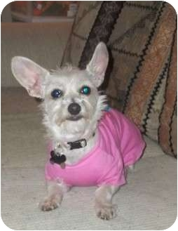 Chihuahua/Yorkie, Yorkshire Terrier Mix Dog for adoption in New Milford, Connecticut - TRINA GIRL
