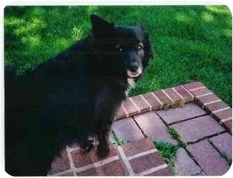 Border Terrier Dog for adoption in Wilmington, Delaware - Bucky
