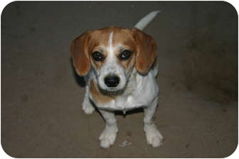 Beagle Mix Puppy for adoption in Tracy, California - Charlie Brown-ADOPTED!!