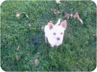 Chihuahua Dog for adoption in Apple valley, California - Holly