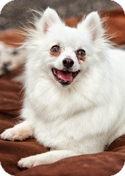 American Eskimo Dog Dog for adoption in Loveland, Colorado - Nina