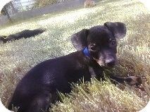 Dachshund Mix Puppy for adoption in Las Vegas, Nevada - F's Falcor -N