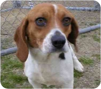 Beagle Mix Dog for adoption in Marion, Arkansas - Jeanette