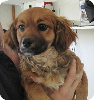 Dachshund Mix Puppy for adoption in Las Vegas, Nevada - Curly Sue