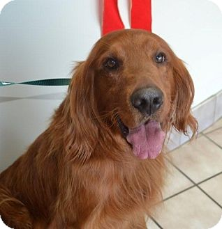 Golden Retriever/Irish Setter Mix Dog for adoption in Portland, Maine - Kipper