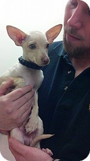 Chihuahua Mix Puppy for adoption in North Brunswick, New Jersey - Angel
