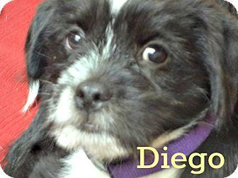 Shih Tzu/Beagle Mix Puppy for adoption in Mount Ida, Arkansas - Diego