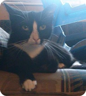 Domestic Shorthair Cat for adoption in Old Town, Florida - NJ