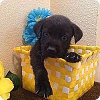 Adopt A Pet :: Bravo - Inglewood, CA