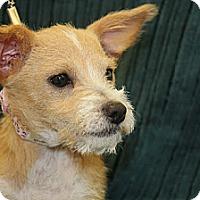 Adopt A Pet :: Cookie Dough - Broomfield, CO