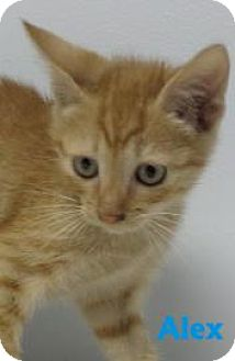 Domestic Shorthair Kitten for adoption in Georgetown, South Carolina - Alex