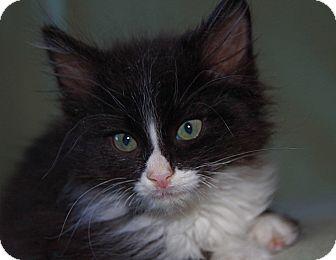 Domestic Mediumhair Kitten for adoption in Manahawkin, New Jersey - Tim