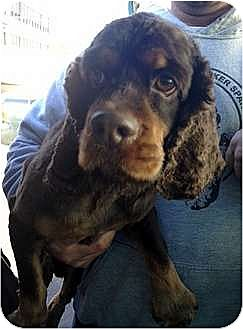 Cocker Spaniel Dog for adoption in Flushing, New York - Reese's Pieces