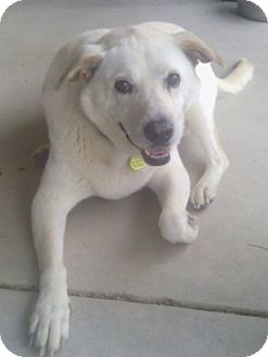 Labrador Retriever/Shar Pei Mix Dog for adoption in Apache Junction, Arizona - BISCUIT