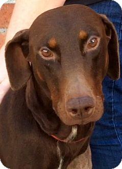 Doberman Pinscher Dog for adoption in Los Angeles, California - STANLEY (video)